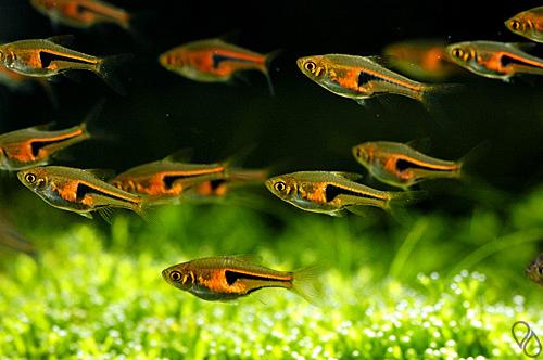 Белокожие — заболевания аквариумных рыб