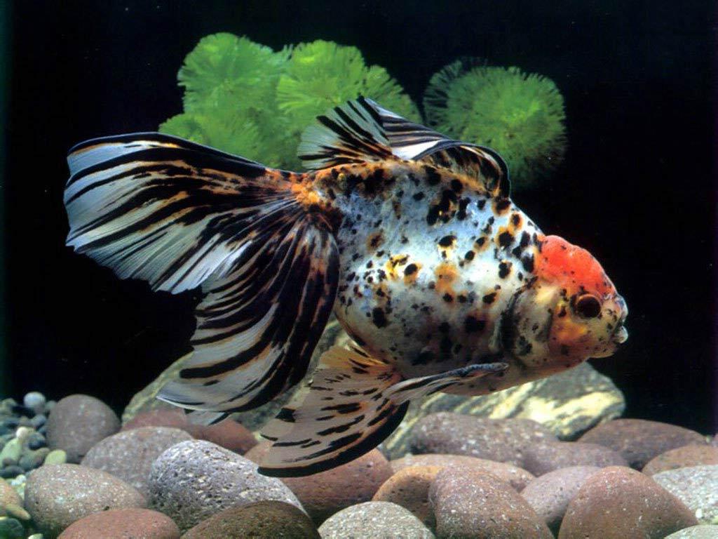 Гексамитоз — заболевания аквариумных рыб
