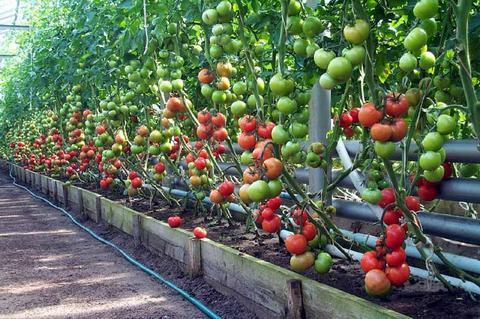 Помидоры выращивание и уход