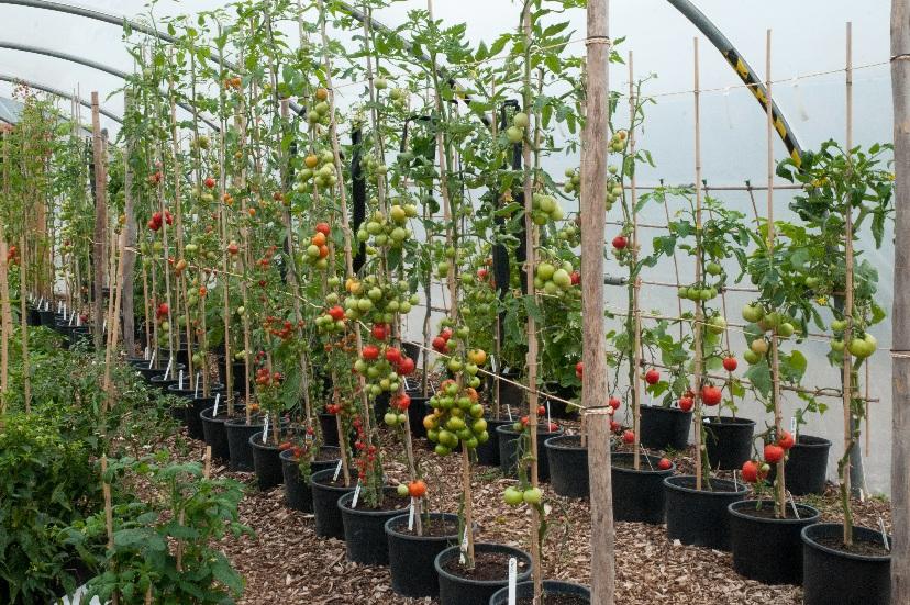 20639 Выращивание помидоров