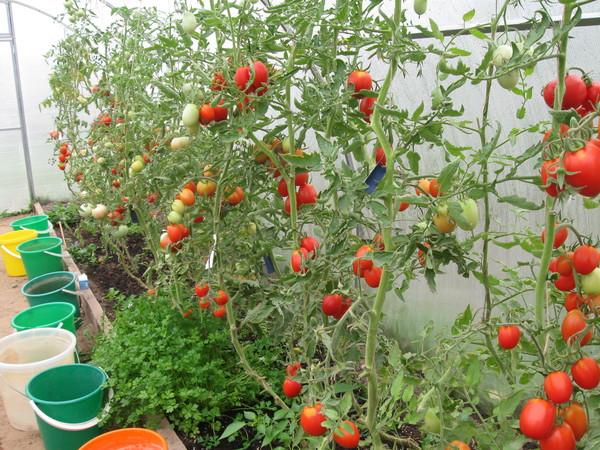 Как повысить устойчивость томатов