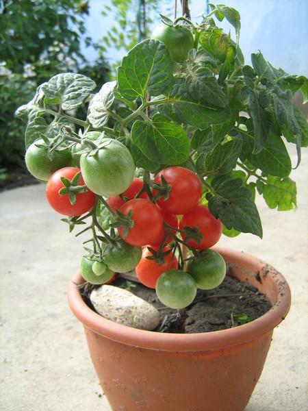 Горшечные помидоры выращивание 61