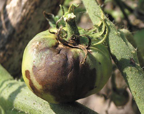 20660 Болезни томатов