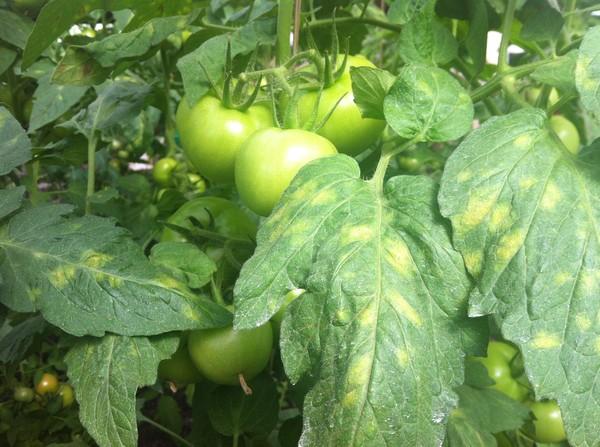 20665 Борьба с болезнями томатов