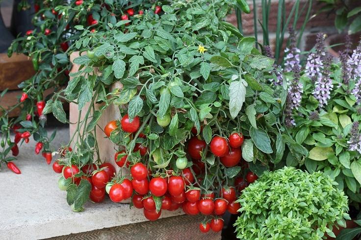 Как выращивать томаты на балконе