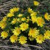 Растение Горицвет весенний