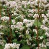 20808 Растение Гречиха посевная