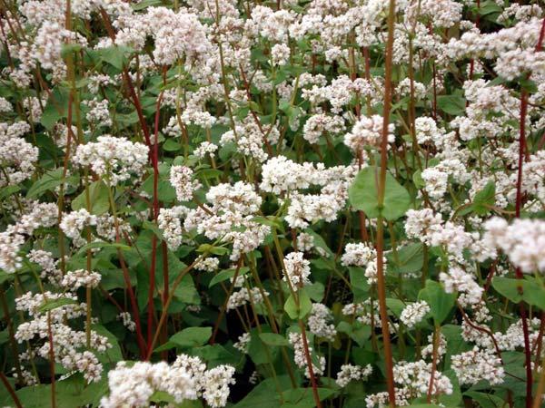 Растение Гречиха посевная
