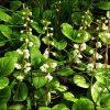 Растение Грушанка