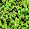 20820 Растение Грыжник