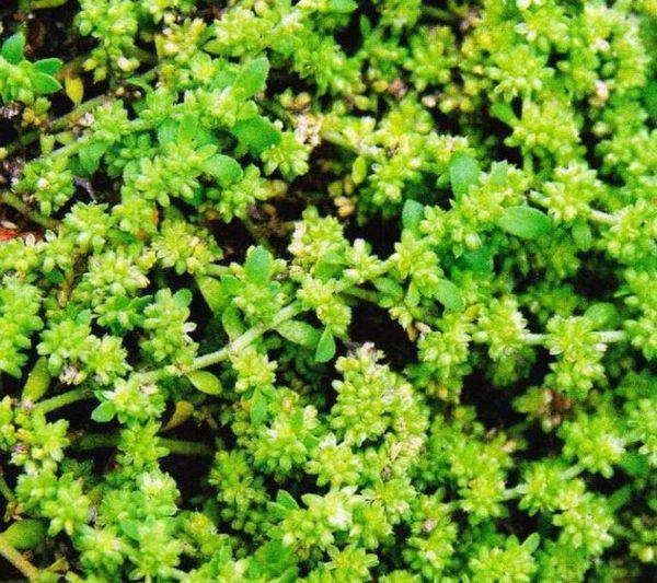 Растение Грыжник