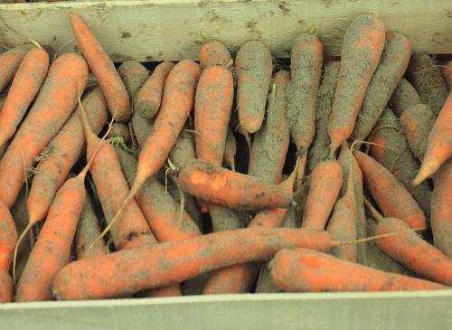 20857 Как сохранить морковь зимой