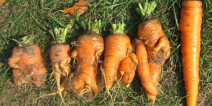 20872 Вредители моркови