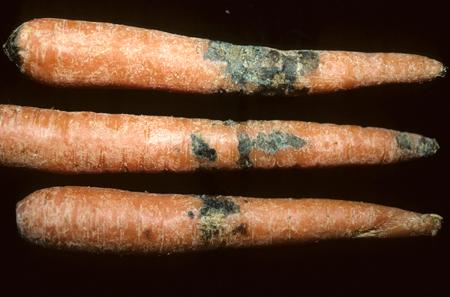 20877 Болезни моркови