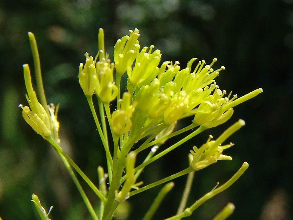 Растение Дескурайния Софии