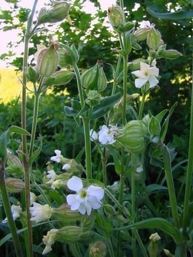 Растение Дрема белая и луговая