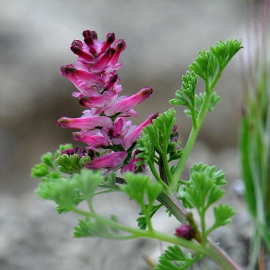 Растение Дымянка лекарственная