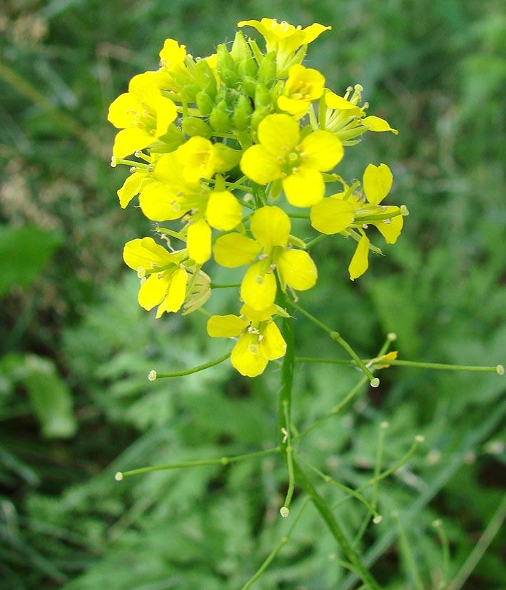 Растение Желтушник серый