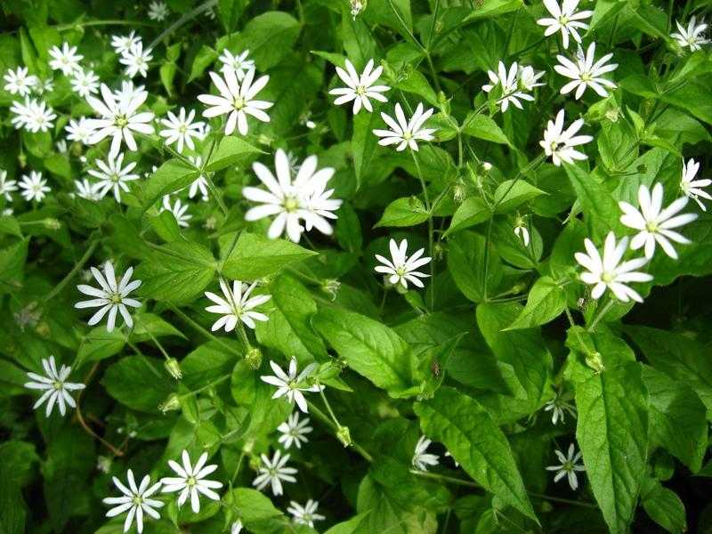 Растение Звездчатка