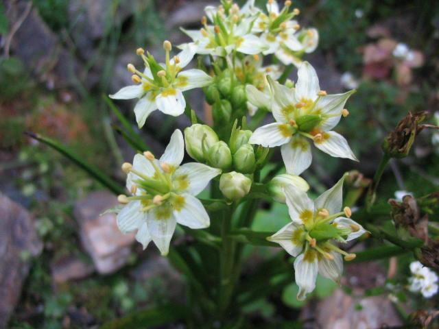 Растение Зигаденус