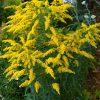 21032 Растение Золотарник