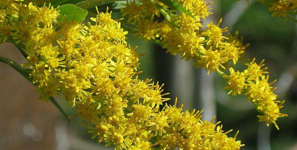 Растение Золотая розга
