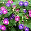 Растение Ипомея