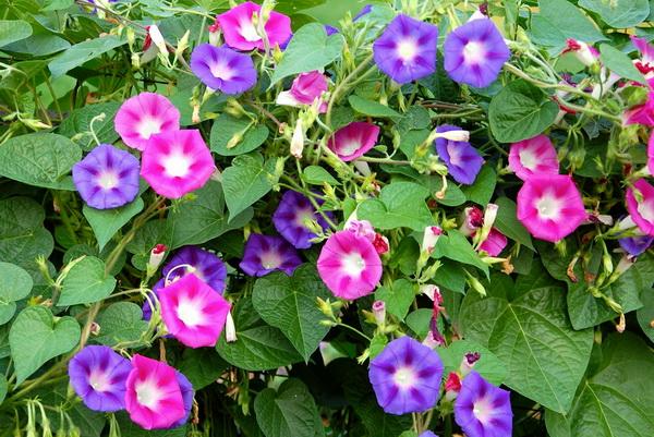 21089 Растение Ипомея
