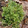 Растение Исландский мох