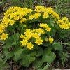 Растение Калужница