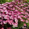 21133 Растение Камнеломка