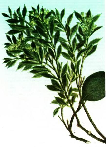 Дерево Квебрахо