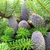 Растение Кедр