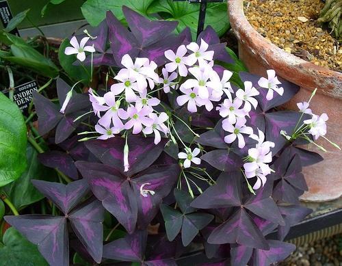 Растение Кислица