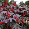 21204 Растение Клещевина