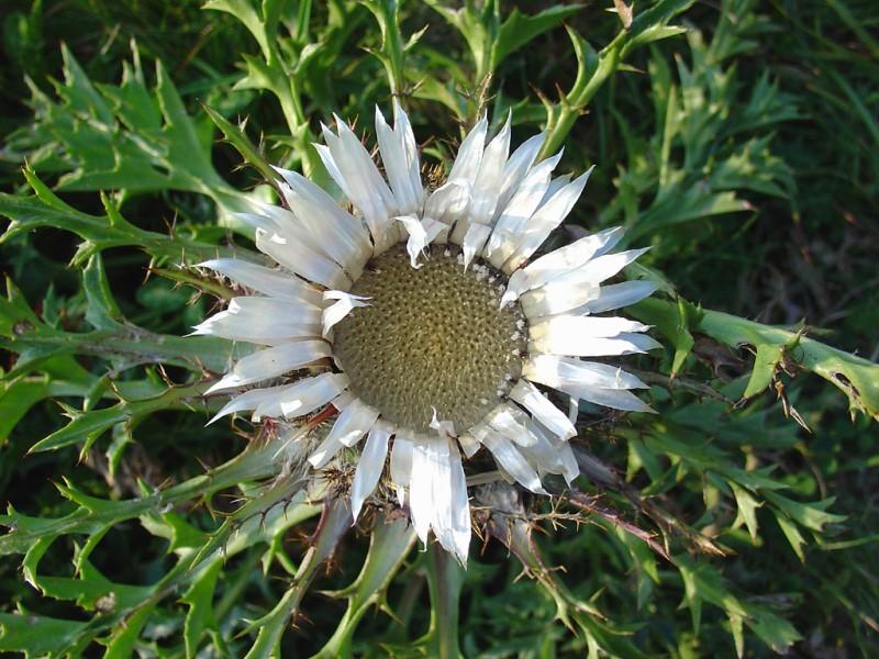 Растение Колючник