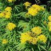Растение Крестовник