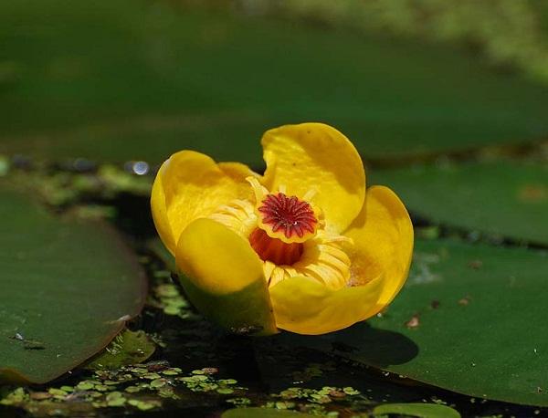 21315 Растение Кубышка