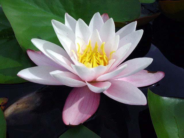 Растение Кувшинка