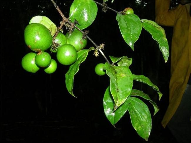 Дерево Кураре