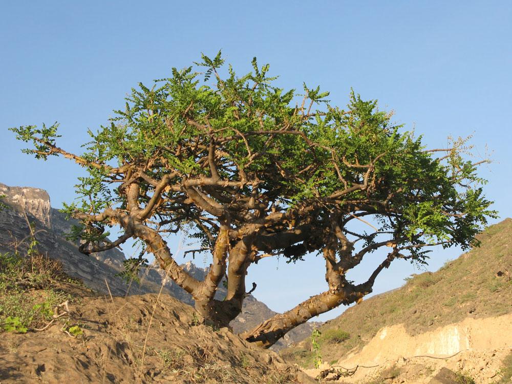 21360 Ладанное дерево