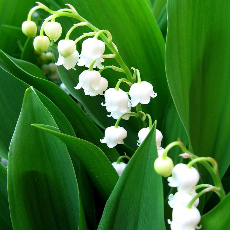 Растение Ландыш майский