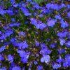 21411 Растение Лобелия
