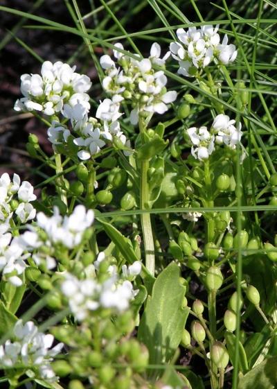 Растение Ложечная трава