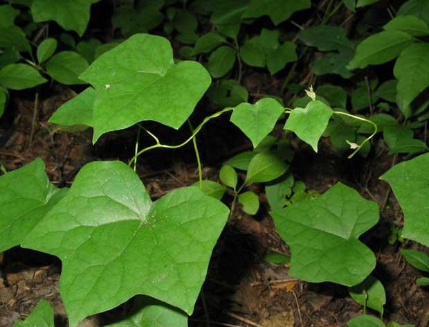 Растение Луносемянник