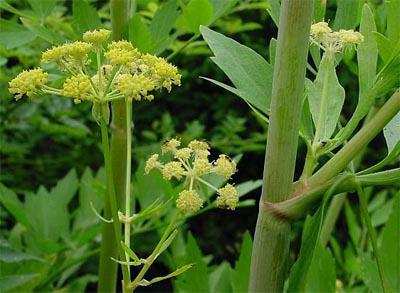 Растение Любисток