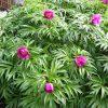 Растение Марьин корень