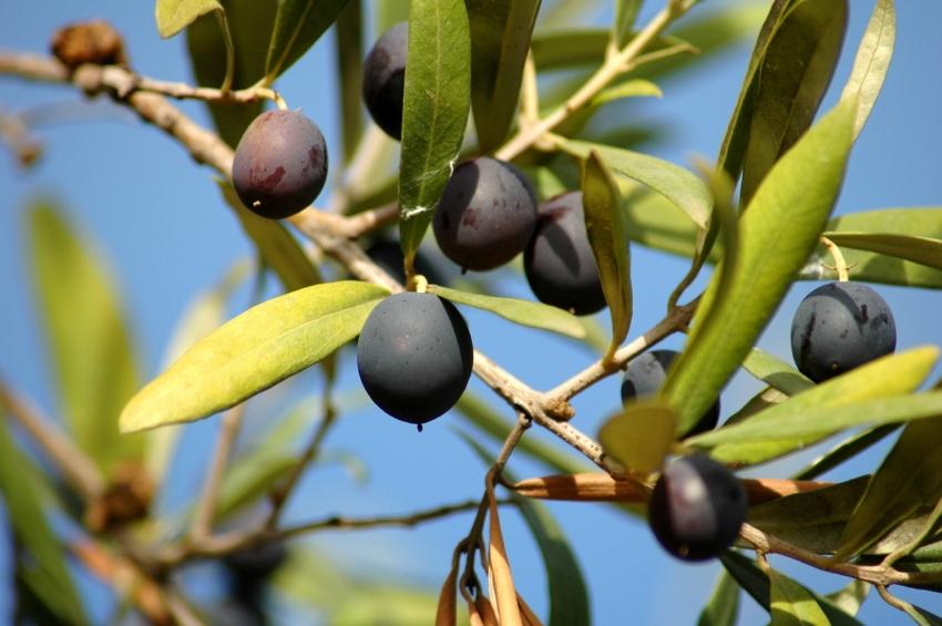 дерево маслины