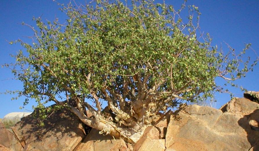 Растение Мирра