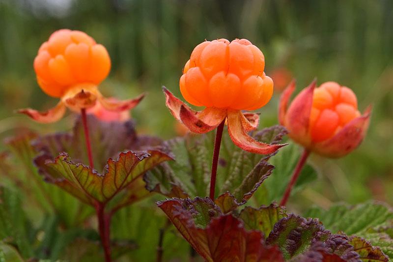 21554 Растение Морошка